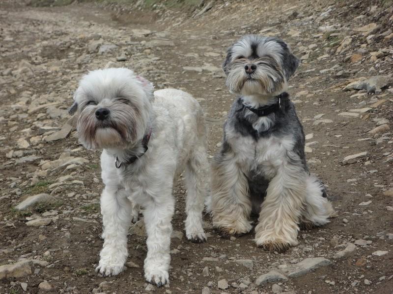 Lowchen Breeders Queensland Dog Open Gallery | Fre...